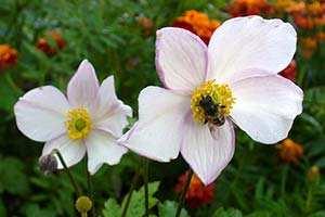 anemone-du-japon2