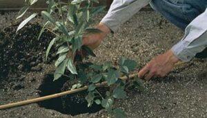 platation-arbuste2