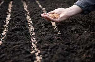 Semer en pleine terre