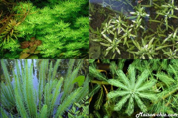 les plantes pour oxygéner l'eau du bassin